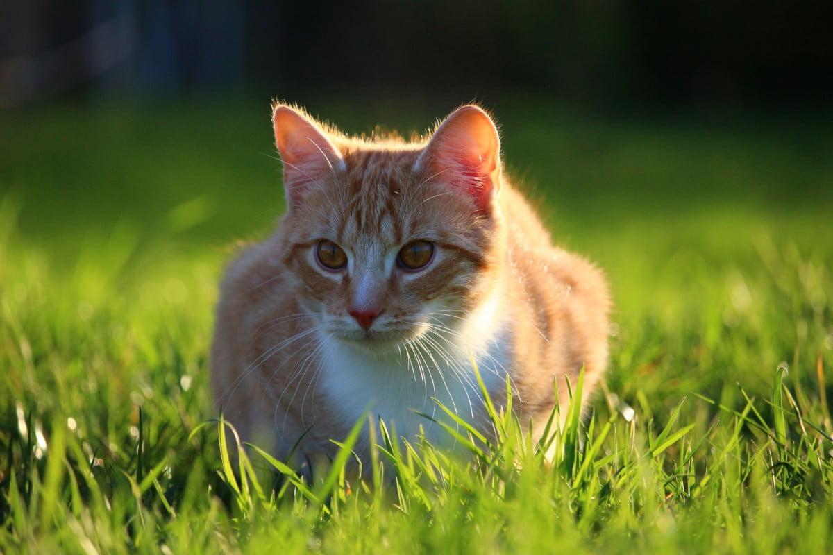Rudy kot w trawie